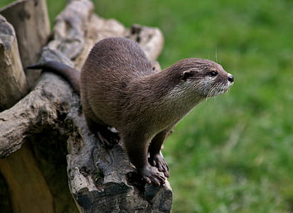 otter on tree branch