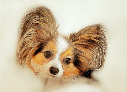 brown, white, and black papillon painting