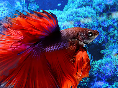 red and gray Siamese fighting fish