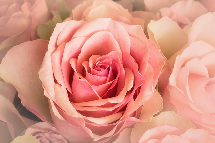 shallow focus photography of pink rose