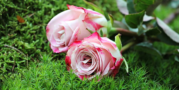 close up photography of pink roses