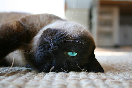 siamese cat lying on floor