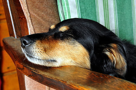 short-coated black and brown dog leaning on brown wooden armchair