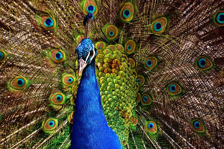 Wildlife photo of male peacock