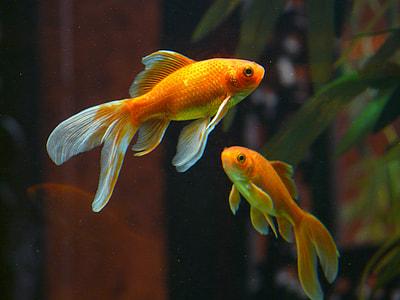 wildlife photography of two orange fish