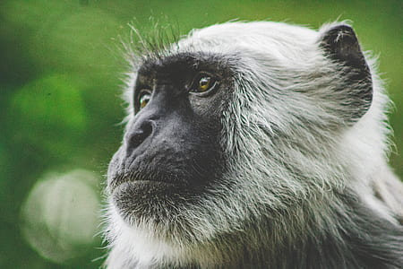 gray monkey photo