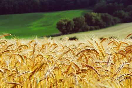 selective focus, photography, Wheat, plants, summer, landscape