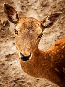 closeup photography of brown spotted deer