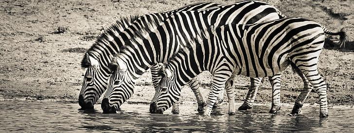 three Zebras drinking water