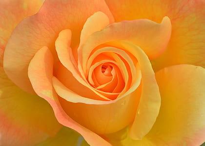 macro photography of yellow rose flower