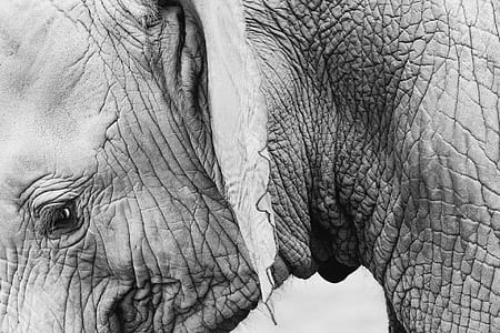 elephant in grayscale photography