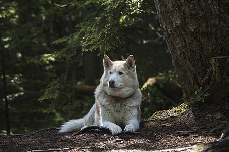 copper and white Alaskan malamute prone lying on ground beside tall trees at daytime
