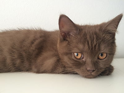 short-fur brown cat