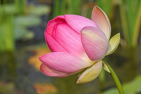 shallow focus lotus flower