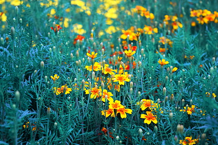 yellow-and-red marigold flower field