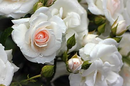 close up photo of white roses