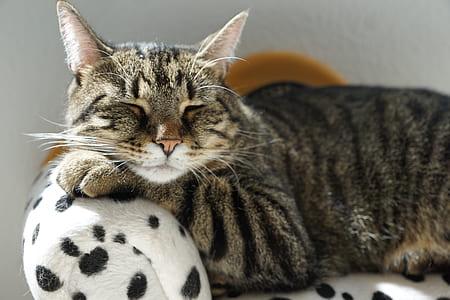 brown tabby cat lying on white and black polka-dot sofa chair