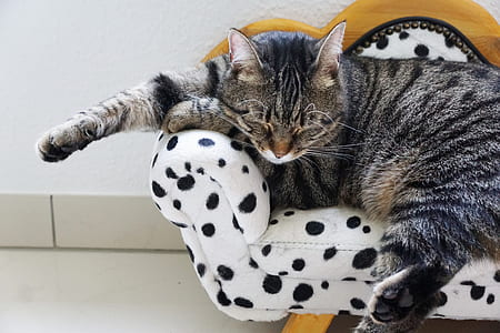 silver Tabby cat sleeping on couch