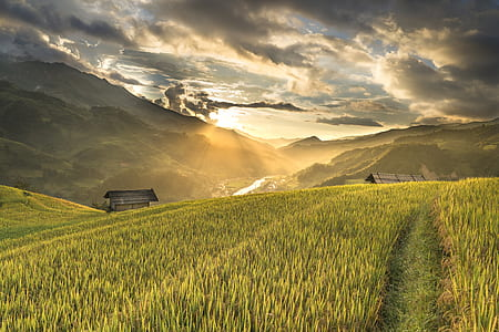 photography of rice field