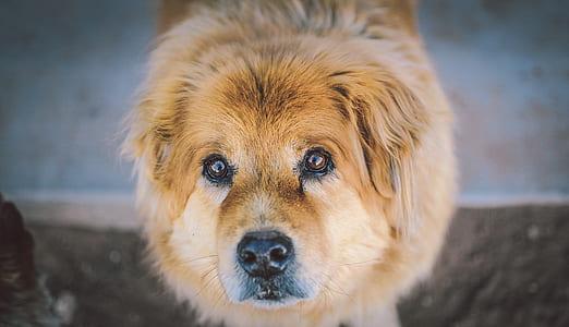 large long-coated tan dog