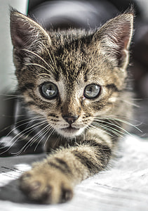 selective focus photography of silver tabby kitten