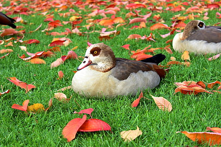 Black and White Duck on Green Grass Field during Daytime