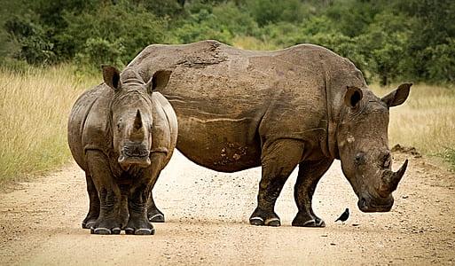 two grey rhinoceros