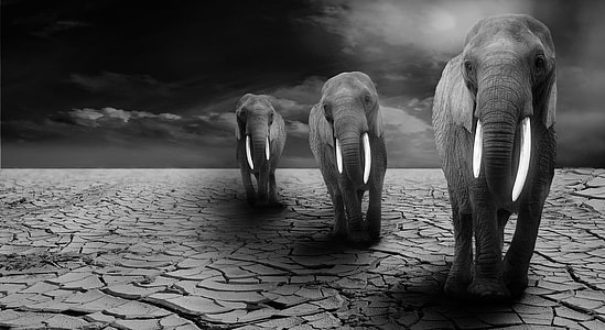 three elephant standing on dry field