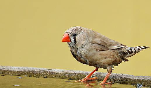 close-up photography of zebra finch