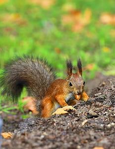 brown squirrel biting nut