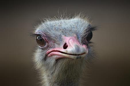 gray ostrich head on focus photo