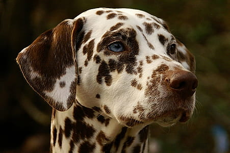 adult liver and white Dalmatian