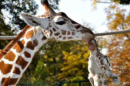 photography of two giraffes