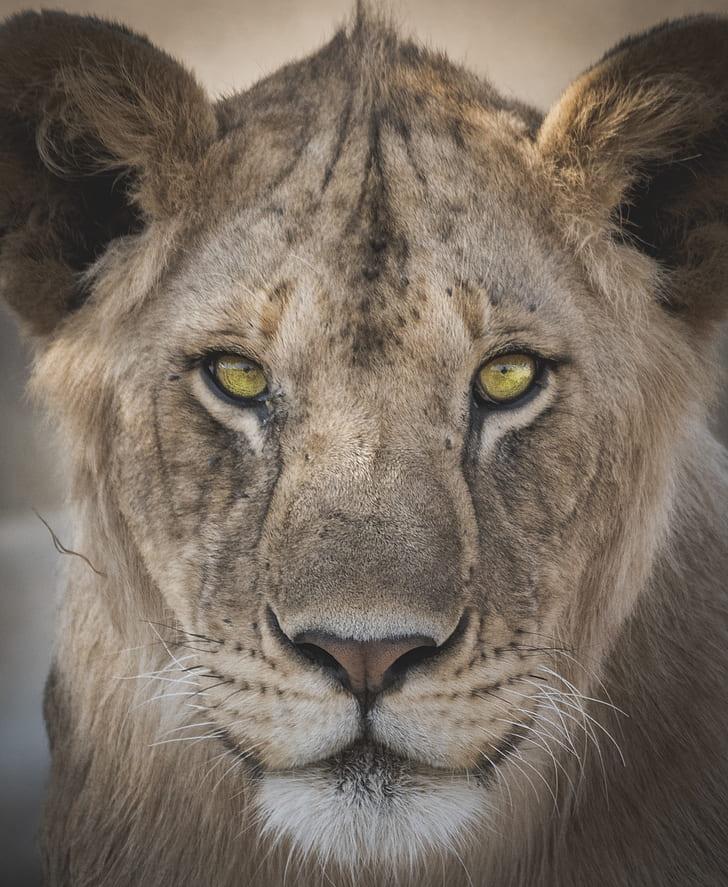 brown lioness