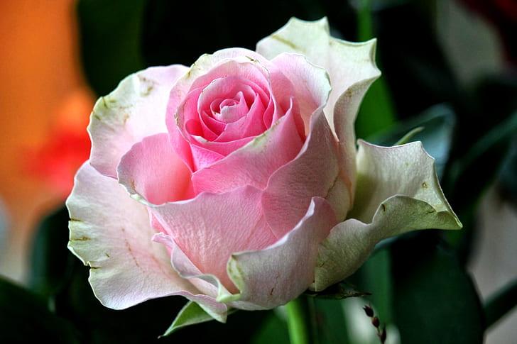 selective focus photograph of pink rose
