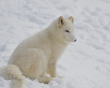 white animal on snow