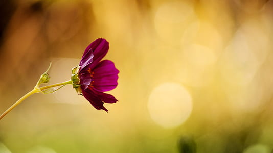 selective focus photography of purple cosmos flower