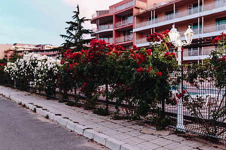 Roses of Bulgaria