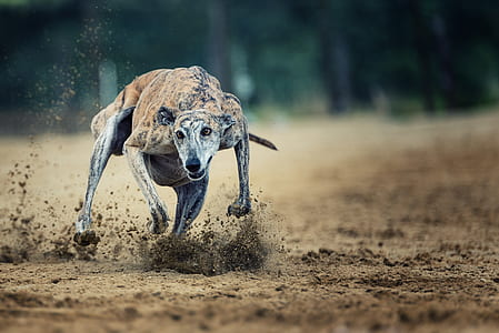 brindle greyhound running on the brown soil during daytime
