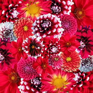 assorted-color dahlia flowers