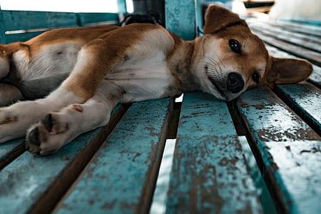adult tan miniature pinscher lying on floor