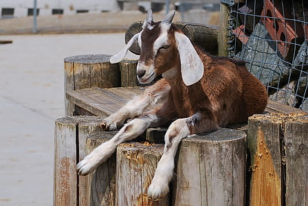brown and gray goat on the rack during daytime photography