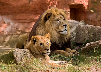 two lion siting on grass field