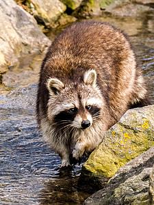 brown raccoon walking on body of water during daytime