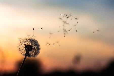 dandelion in tilt shift photography