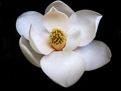 white Magnolia flower in bloom close up photo
