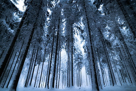 Trees With Snows