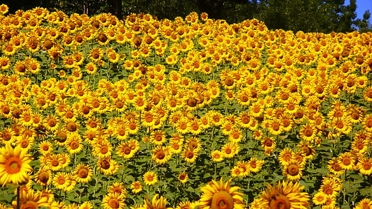 sunflower lot during daytime