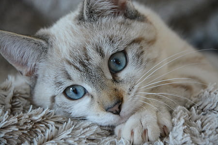 white and gray tabby cat lying on gray fur textile
