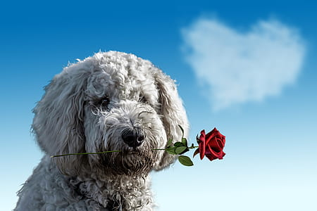 long-coated white puppy biting red rose at daytime